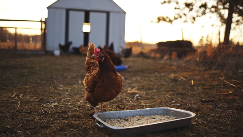 A homesteading retirement features chickens